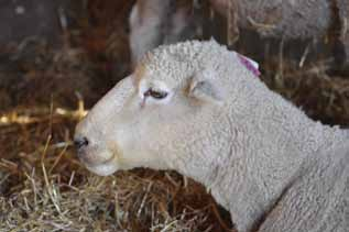 Helping farmers get to grips with sheep: EID recording