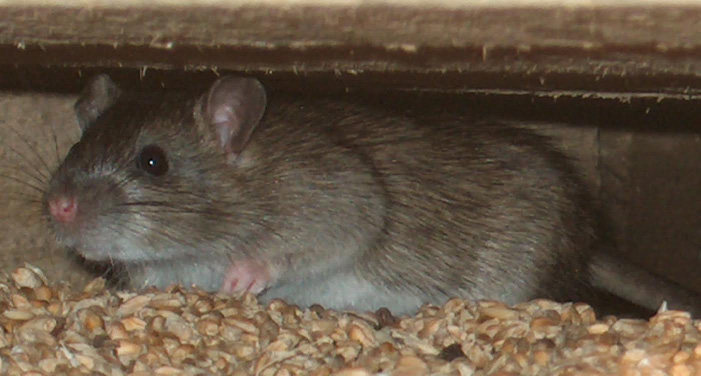 rodent12